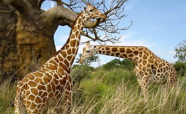 Животные-саванны-Описания-названия-и-особенности-животных-саванны-9