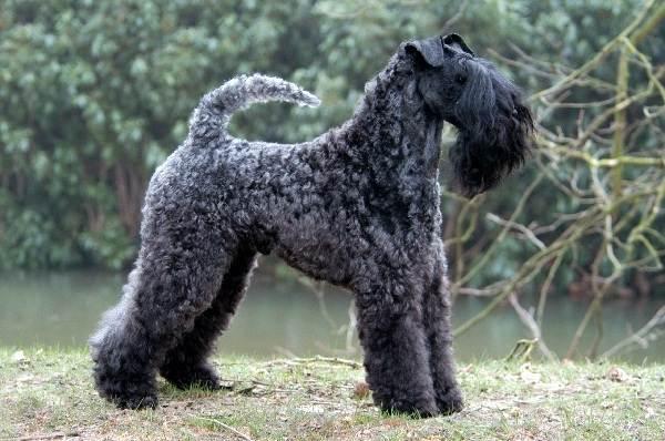 Крупные-породы-собак-Описания-названия-и-фото-собак-крупных-пород-44