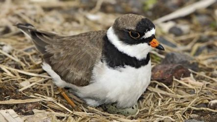 Галстучник птица. Описание и особенности кулика галстучника