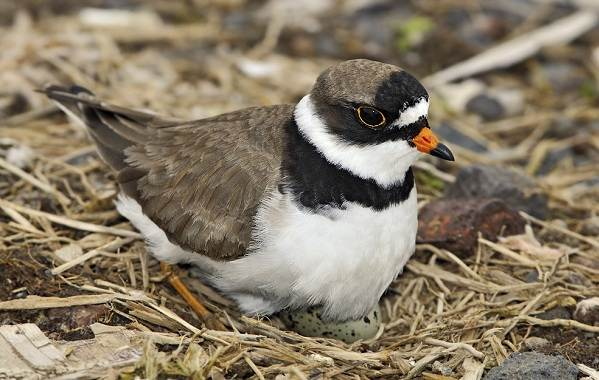 Галстучник-птица-Описание-и-особенности-кулика-галстучника-3