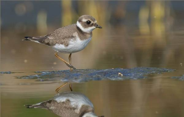Галстучник-птица-Описание-и-особенности-кулика-галстучника-4