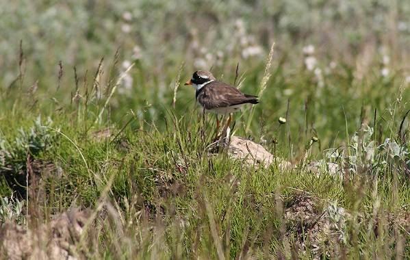 Галстучник-птица-Описание-и-особенности-кулика-галстучника-5