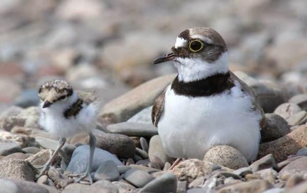 Галстучник-птица-Описание-и-особенности-кулика-галстучника-9