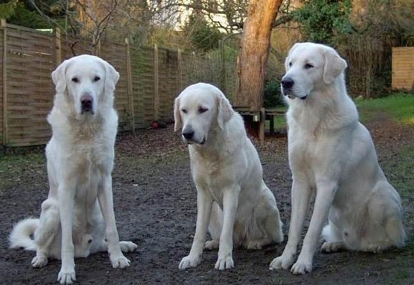 Крупные породы собак. Описания, названия и фото собак крупных пород