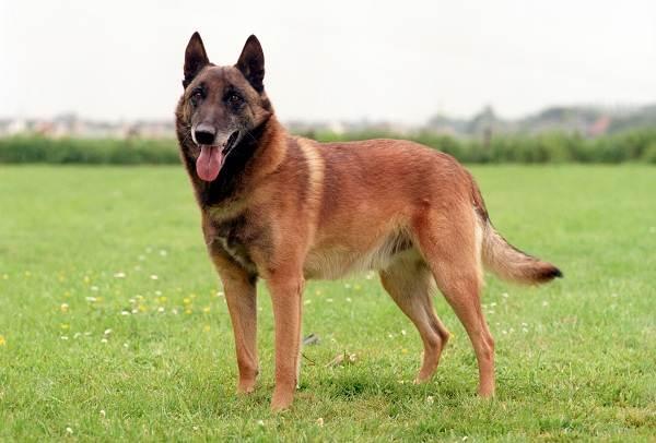 Крупные-породы-собак-Описания-названия-и-фото-собак-крупных-пород-31