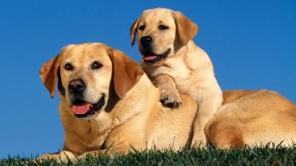 Крупные-породы-собак-Описания-названия-и-фото-собак-крупных-пород-33
