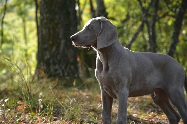 Крупные-породы-собак-Описания-названия-и-фото-собак-крупных-пород-35