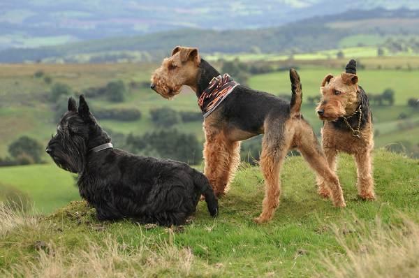 Крупные-породы-собак-Описания-названия-и-фото-собак-крупных-пород-39