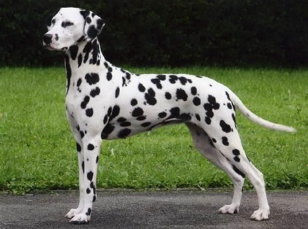 Крупные-породы-собак-Описания-названия-и-фото-собак-крупных-пород-42