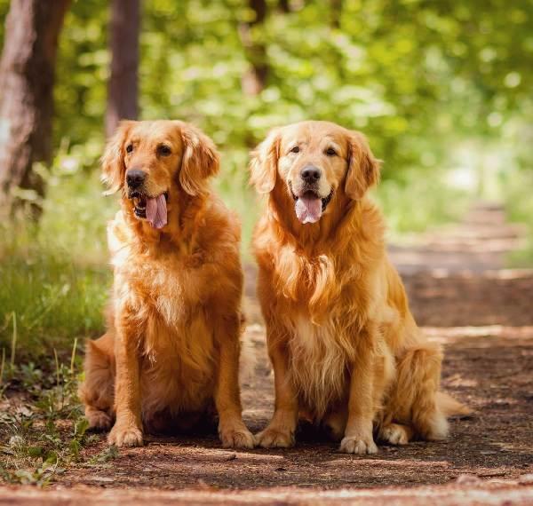 Крупные-породы-собак-Описания-названия-и-фото-собак-крупных-пород-43