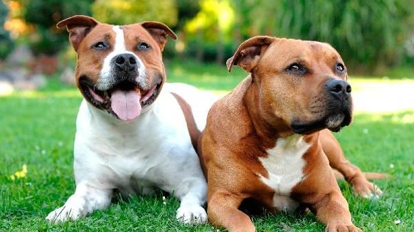 Крупные-породы-собак-Описания-названия-и-фото-собак-крупных-пород-45