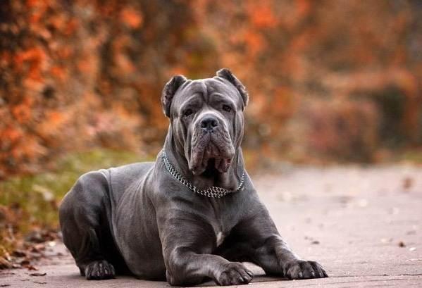 Крупные-породы-собак-Описания-названия-и-фото-собак-крупных-пород-50