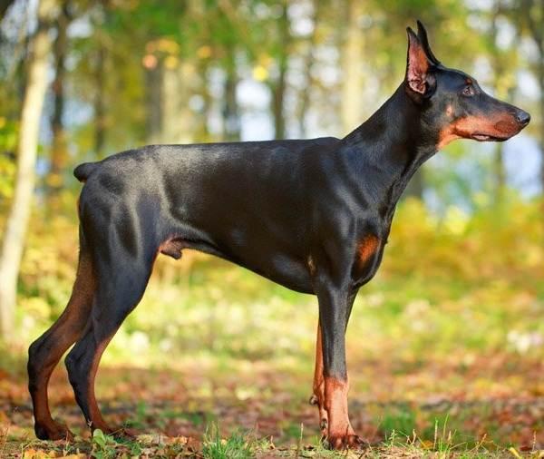 Крупные-породы-собак-Описания-названия-и-фото-собак-крупных-пород-51