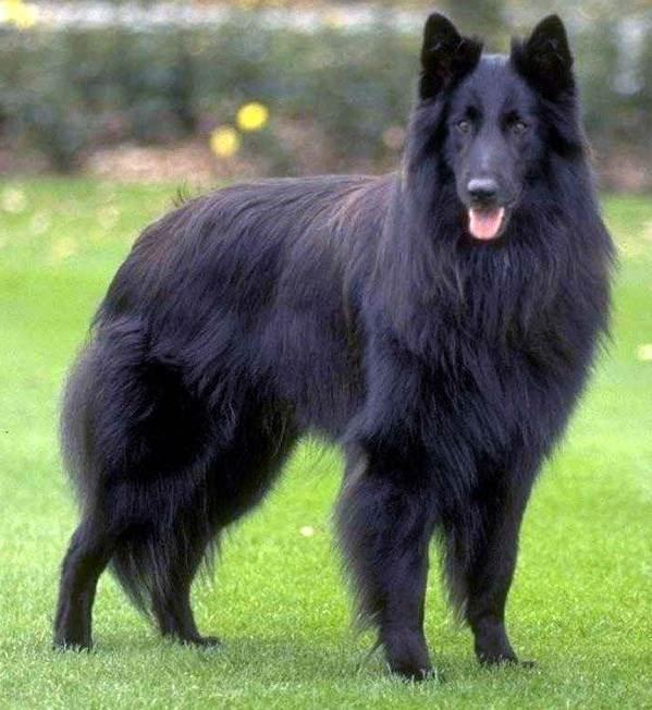 Крупные-породы-собак-Описания-названия-и-фото-собак-крупных-пород-53