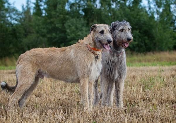 Крупные-породы-собак-Описания-названия-и-фото-собак-крупных-пород-55