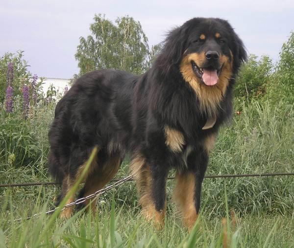 Крупные-породы-собак-Описания-названия-и-фото-собак-крупных-пород-56