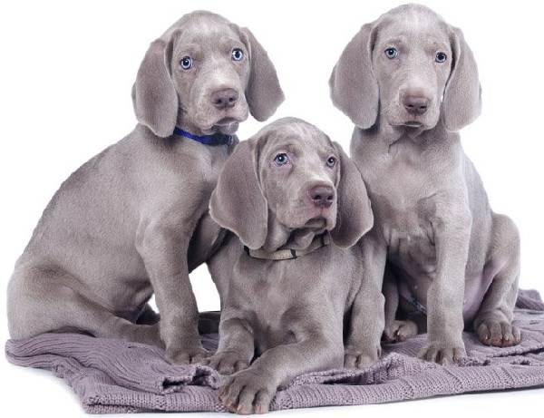 Крупные-породы-собак-Описания-названия-и-фото-собак-крупных-пород-58