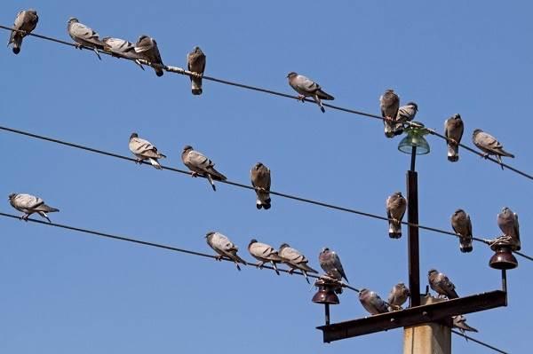 Почему-птиц-не-бьет-током-на-проводах-1