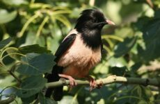 Розовый скворец птица. Описание и особенности розового скворца