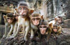 Виды обезьян. Описание, названия и особенности видов обезьян