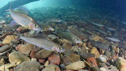 Рыбы Байкала. Описания, названия и особенности рыб Байкала