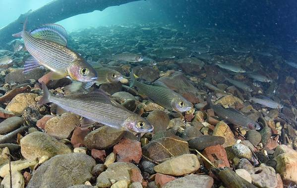 Рыбы-Байкала-Описания-названия-и-особенности-рыб-Байкала-1