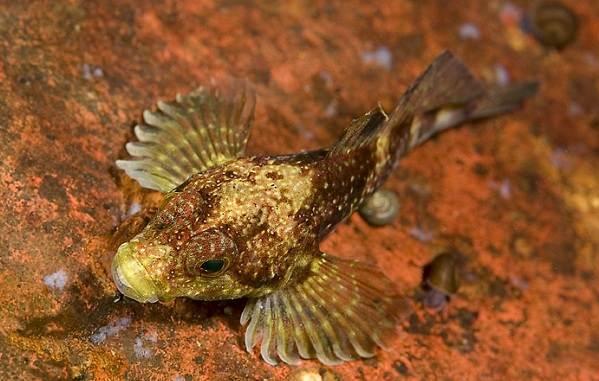 Рыбы-Байкала-Описания-названия-и-особенности-рыб-Байкала-10