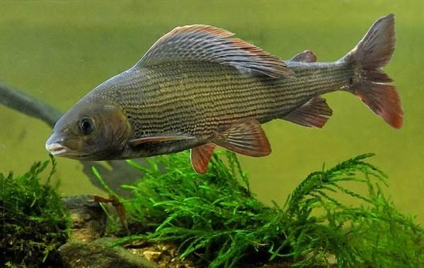 Рыбы-Байкала-Описания-названия-и-особенности-рыб-Байкала-11