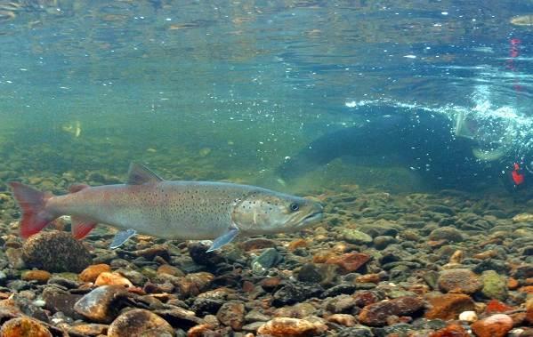 Рыбы-Байкала-Описания-названия-и-особенности-рыб-Байкала-13