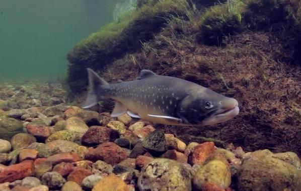 Рыбы-Байкала-Описания-названия-и-особенности-рыб-Байкала-17
