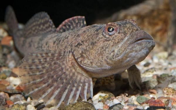 Рыбы-Байкала-Описания-названия-и-особенности-рыб-Байкала-19