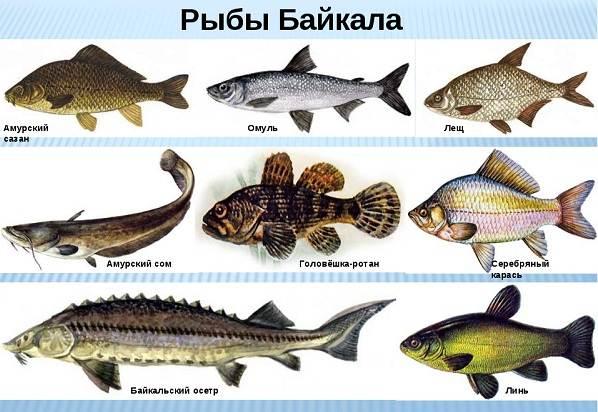 Рыбы-Байкала-Описания-названия-и-особенности-рыб-Байкала-2