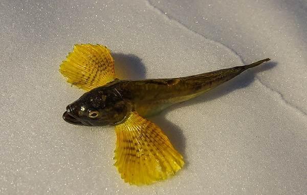 Рыбы-Байкала-Описания-названия-и-особенности-рыб-Байкала-20