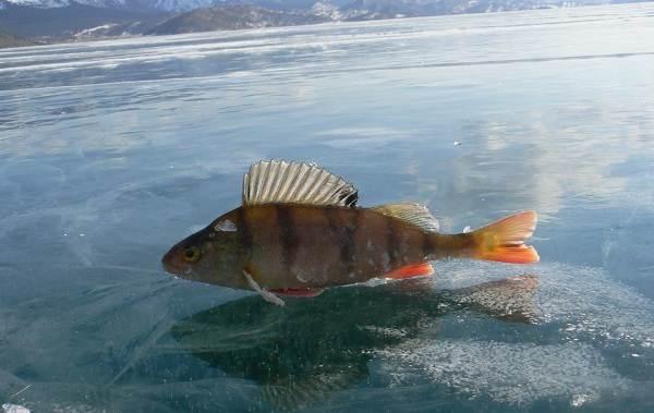 Рыбы-Байкала-Описания-названия-и-особенности-рыб-Байкала-3