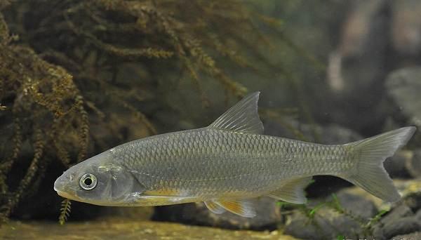 Рыбы-Байкала-Описания-названия-и-особенности-рыб-Байкала-5