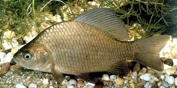 Рыбы-Байкала-Описания-названия-и-особенности-рыб-Байкала-6