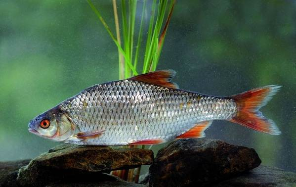 Рыбы-Байкала-Описания-названия-и-особенности-рыб-Байкала-9
