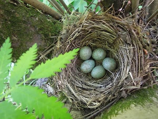 Черный-дрозд-птица-Описание-особенности-питание-и-размножение-черного-дрозда-1
