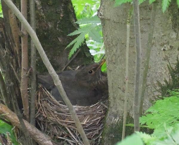 Черный-дрозд-птица-Описание-особенности-питание-и-размножение-черного-дрозда-10