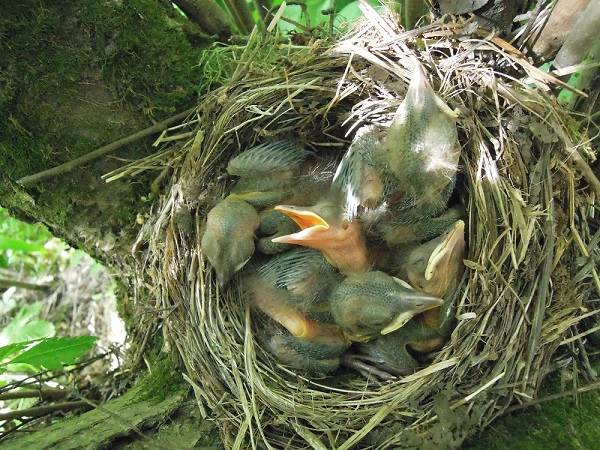 Черный-дрозд-птица-Описание-особенности-питание-и-размножение-черного-дрозда-11