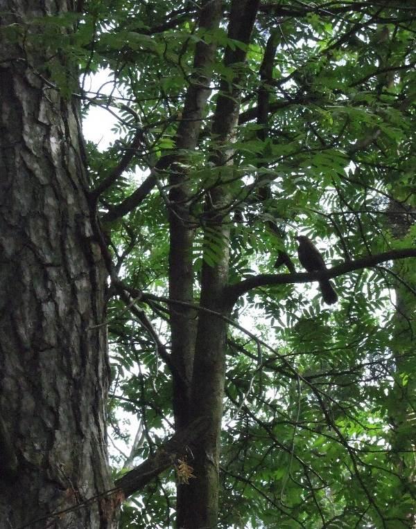 Черный-дрозд-птица-Описание-особенности-питание-и-размножение-черного-дрозда-12