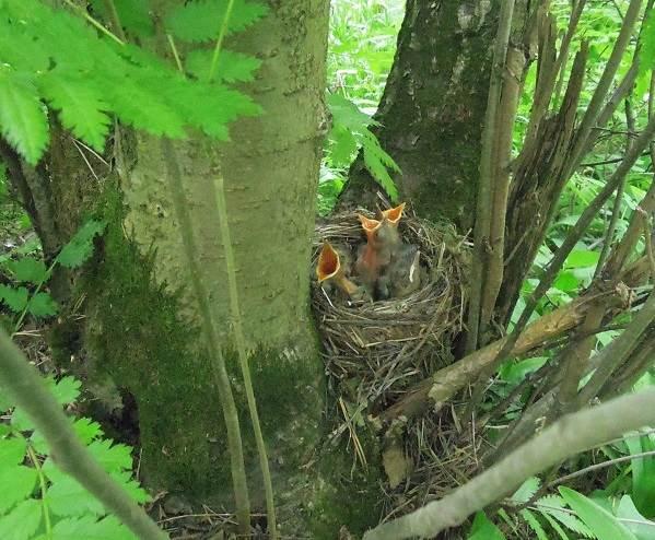 Черный-дрозд-птица-Описание-особенности-питание-и-размножение-черного-дрозда-13