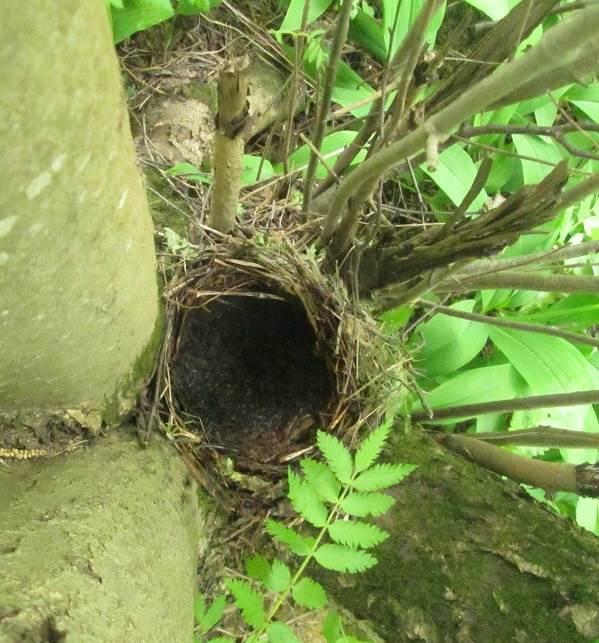 Черный-дрозд-птица-Описание-особенности-питание-и-размножение-черного-дрозда-15
