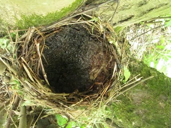Черный-дрозд-птица-Описание-особенности-питание-и-размножение-черного-дрозда-16