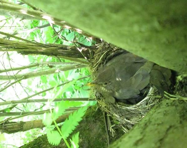 Черный-дрозд-птица-Описание-особенности-питание-и-размножение-черного-дрозда-17