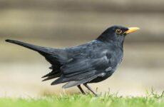 Черный дрозд птица. Описание, особенности, питание и размножение черного дрозда