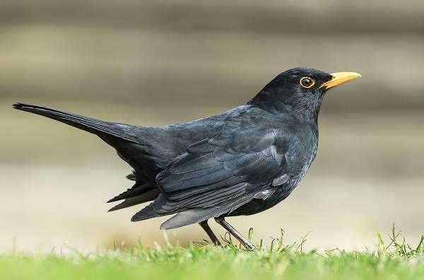 Черный-дрозд-птица-Описание-особенности-питание-и-размножение-черного-дрозда-18