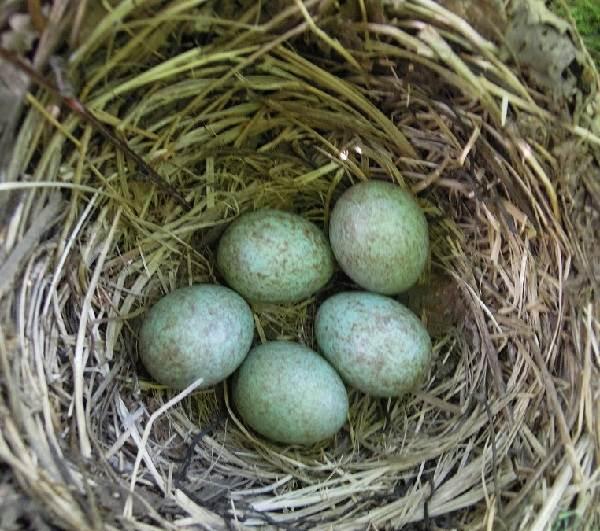 Черный-дрозд-птица-Описание-особенности-питание-и-размножение-черного-дрозда-2