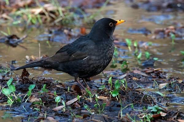 Черный-дрозд-птица-Описание-особенности-питание-и-размножение-черного-дрозда-20
