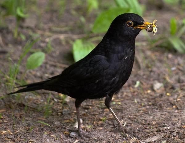 Черный-дрозд-птица-Описание-особенности-питание-и-размножение-черного-дрозда-22